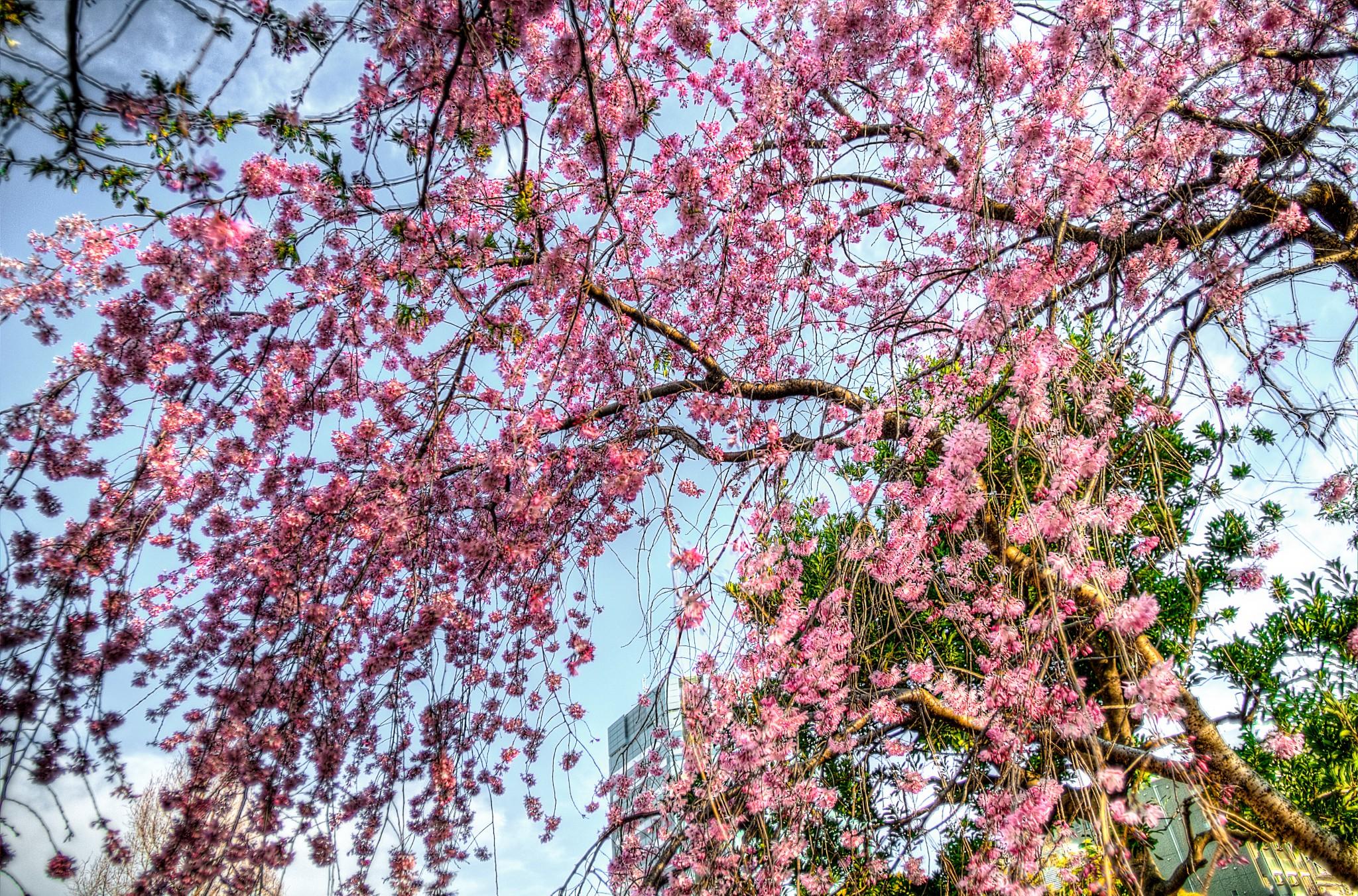 20150327_木場公園桜HDR