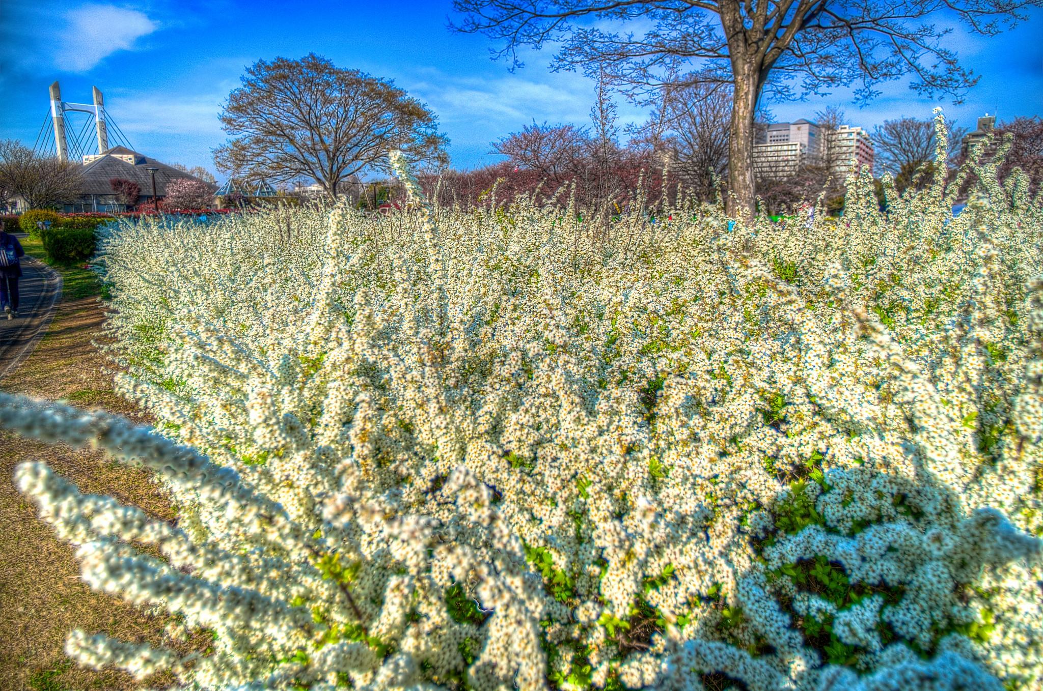 20150327_木場公園白い花HDR