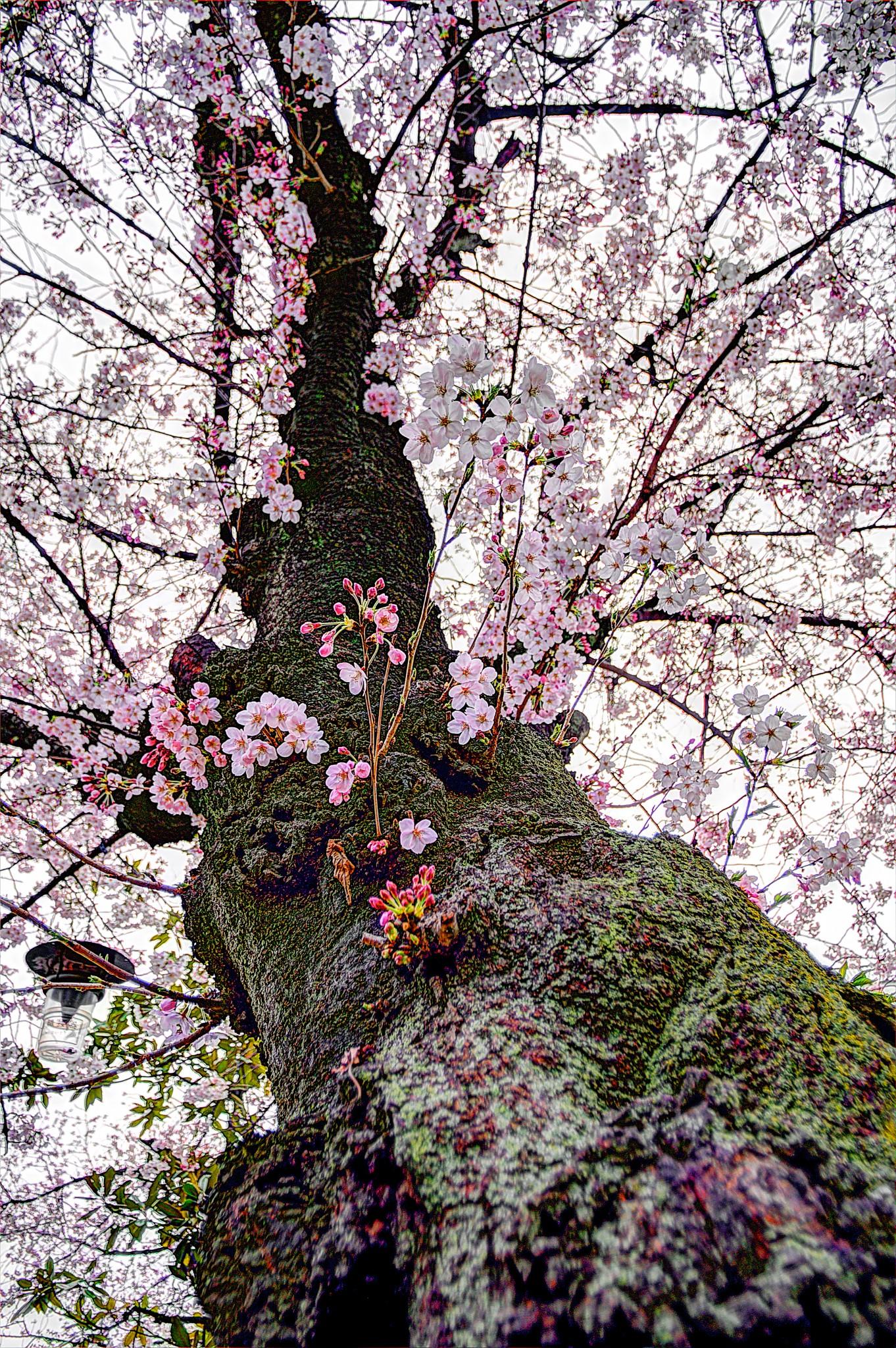 20150328_亀戸桜HDR